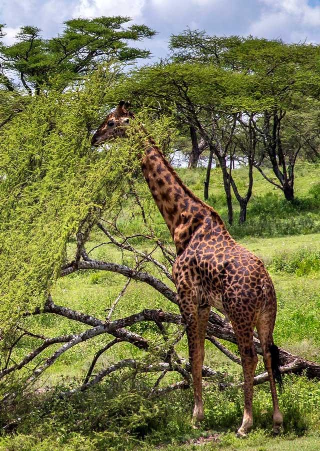 croisière vers les safaris