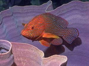 merou etoile corail madagascar